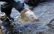 Havørreden byttet til fladfisk