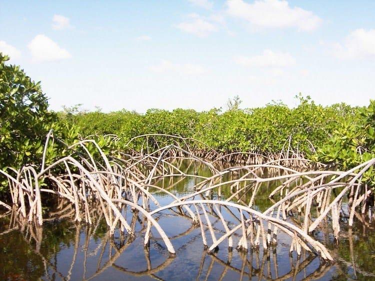 Mangroven kan være ganske dekorativ sine steder, men vanskelig at navigere i